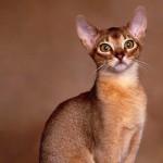 Raças de gatos - Abissínios