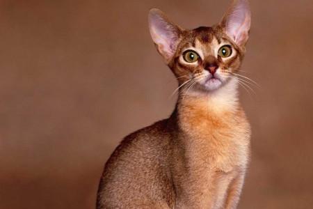 Raças de gatos – Abissínios
