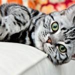 Raças de gatos - American ShortHair
