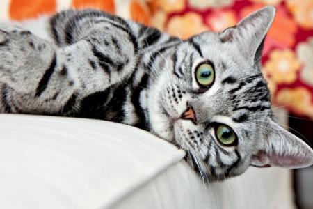 Raças de gatos – American ShortHair