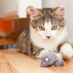 Toxoplasmose - Mais mito que medo