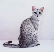 Raças de Gatos – Egyptian Mau