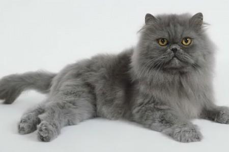 Raças de gatos – Persa