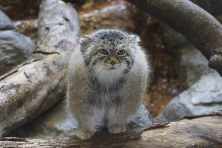 Raças de gatos – Gato de Pallas