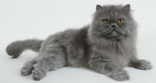 10 cuidados a ter com Gatos Persas