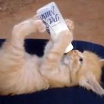 Pode o gato beber leite?