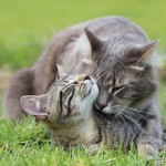 Esterilização em gatos