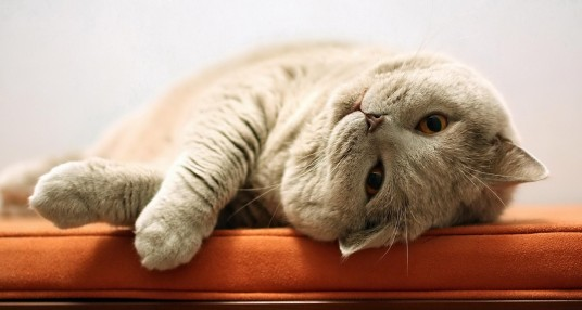 Porque que é que os gatos ronronam?