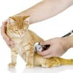 As principais doenças dos gatos